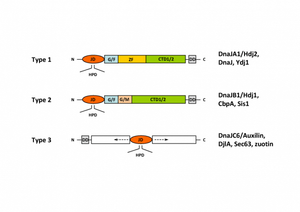 HSP40 Structure - Structural classification of DNAJ/HSP40 family members.