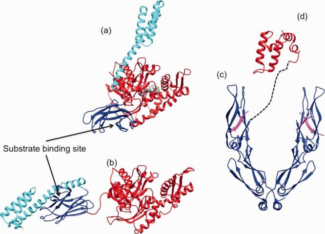 HSP40 Structure - Crystal structure of Hsp70 and its co-chaperone Hsp40.