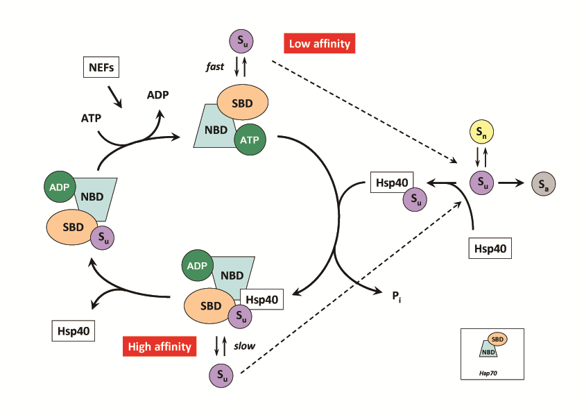 HSP40 Mechanisms and Interactions - DnaJ/Hsp40-dependent substrate binding to Hsp70/DnaK